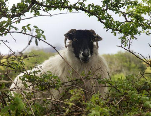 irisches Schaf